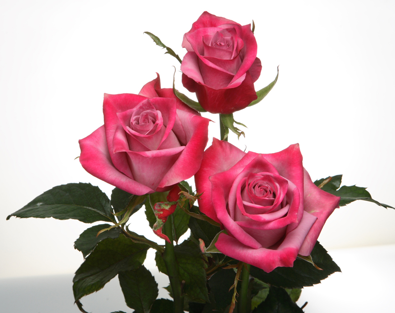 Thornless roses cause a sensation in the global market이미지