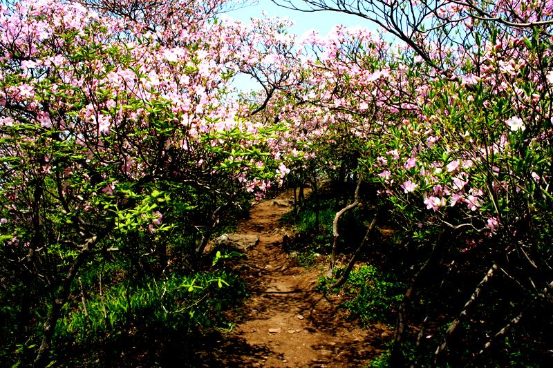 Enjoy Surisan Mountain royal azaleas at Chukryongsan Recreation Forest이미지