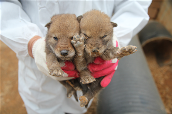 Gyeonggi Province succeeds in natural production of cloned coyotes이미지